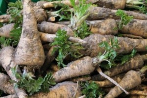 Freshly dug parsnips at the end of March.
