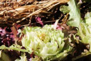 Lettuce 047