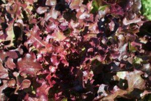 Lettuce 056